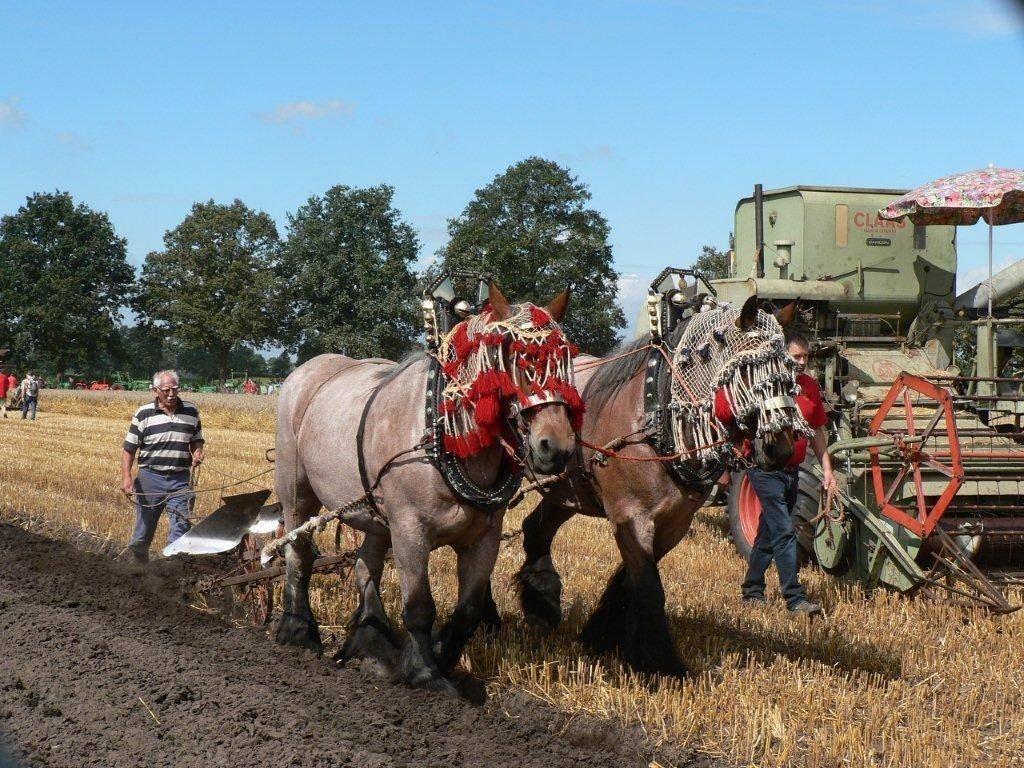 Ook Belgische koudbloedige trekpaarden zijn zondag aan het werk te zien op de Auwerwetse Oogstdag in Boekel