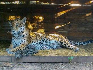 Zeldzaam: twee jaguarwelpjes geboren in Argentinië uit gevangen mama en wilde papa