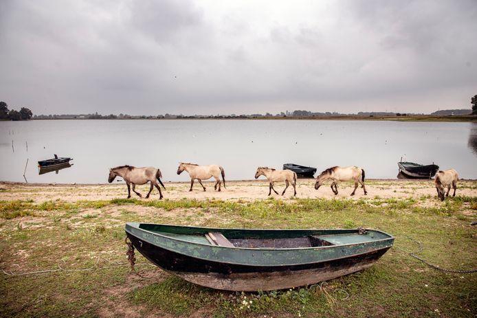 Konikpaarden in de uiterwaarden. Zij drinken het giftige water.