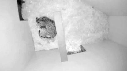 Verdriet in Nederlandse zoo: eerste pantertje sterft, tweede jong nu opgegeten door pantermoeder