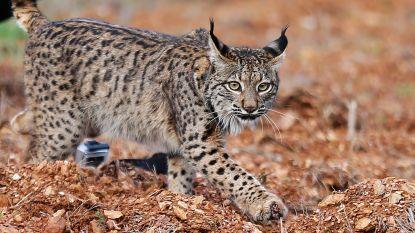 Over enkele jaren opnieuw een lynx in Meerdaalwoud?
