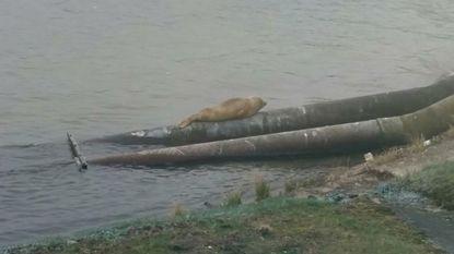 Meer diersoorten in Schelde: daar zijn zeehond en bever weer