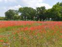 De 'inkompoort' van De Merel is een prachtige bloemenweide met duizenden klaprozen en weidebloemen. Aan de ingang van de boomgaard staat ook een zitbank en een buitenklasje.