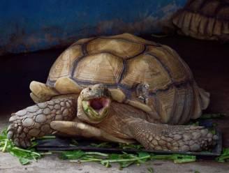 Reuzenschildpad Schurli op minstens 130-jarige leeftijd in Weense zoo overleden