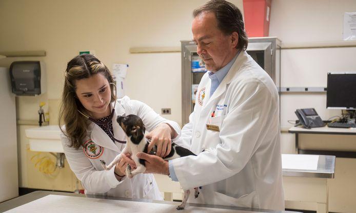 Vierdejaars diergeneeskundestudent Gabriela Iribar luistert naar de hartslag van Siggi, een Rat terriërpuppy, samen met Dr. Erik Clary.