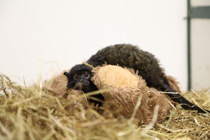 Dit aapje werd door de agenten in beslag genomen.