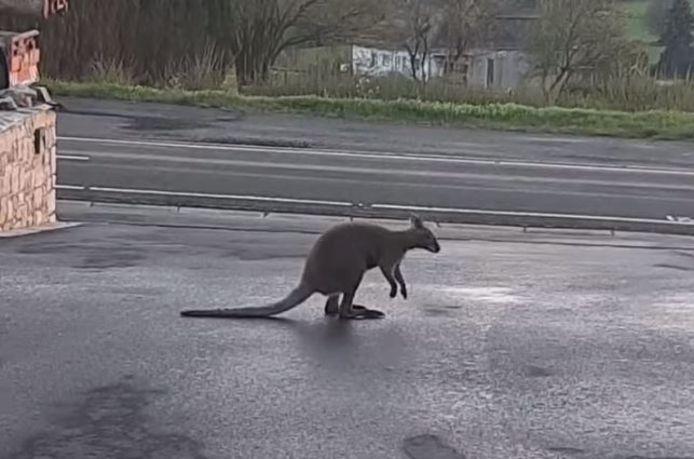 Un wallaby s'est échappé de son enclos et se promène à Waimes depuis deux semaines.