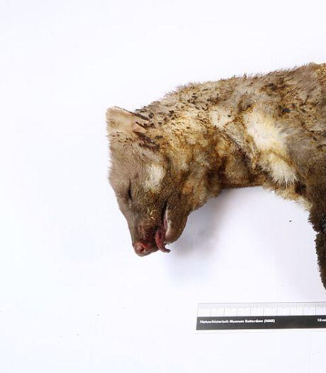 Steenmarter die 11.000 huishoudens in het donker zet naar museum: 'Ook bij het dier ging het licht uit'
