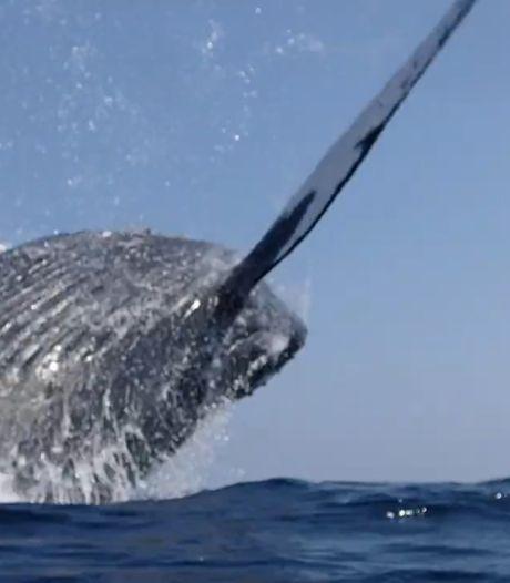Deux plongeurs manquent de peu de se faire écraser par une baleine