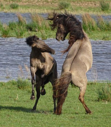 Nieuwe koninkpaarden in de Noordwaard stoeien om plekje in de hengstengroep