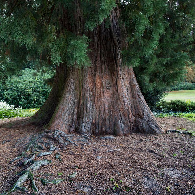 De mammoetboom in het Ledeboerpark in Enschede. Beeld