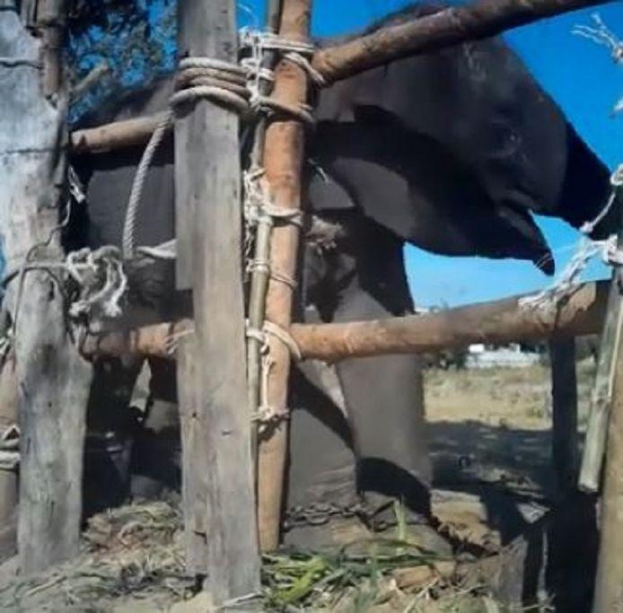 Een van de baby-olifanten tijdens de wrede training.