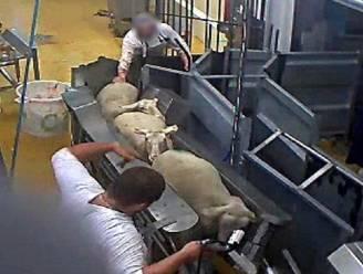 Beelden bewijzen: ook in slachthuis met biolabel moeten dieren onnodig lijden