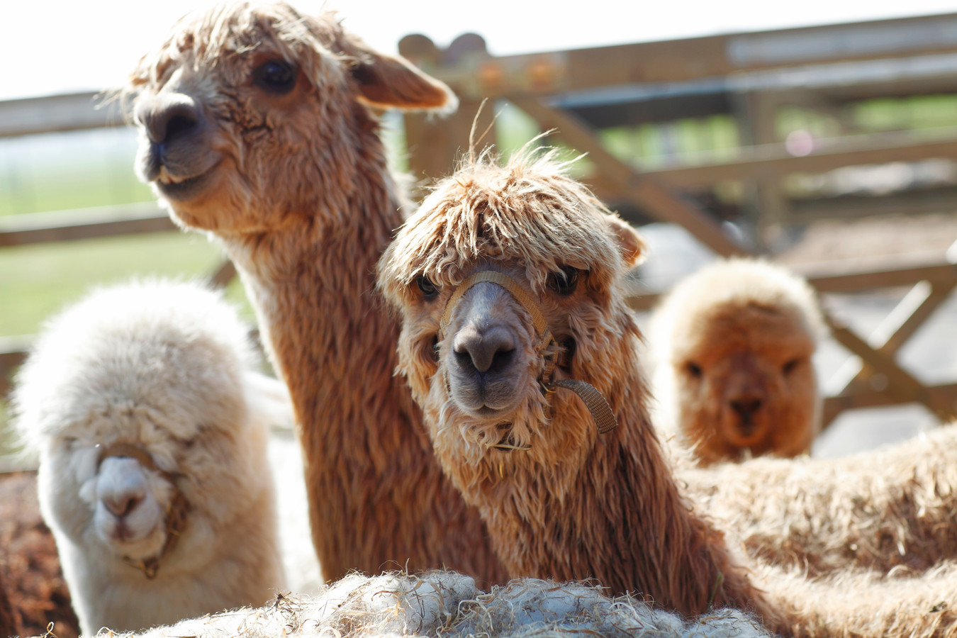 Een kudde alpaca's bij Son en Breugel hield de gemoederen zo bezig, dat het zelfs leidde tot een rechtszaak. Foto ter illustratie.