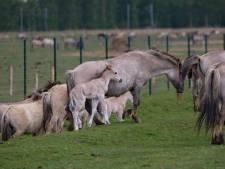 Aangifte tegen Staatsbosbeheer: Konikpaarden Oostvaardersplassen staan in brandende zon