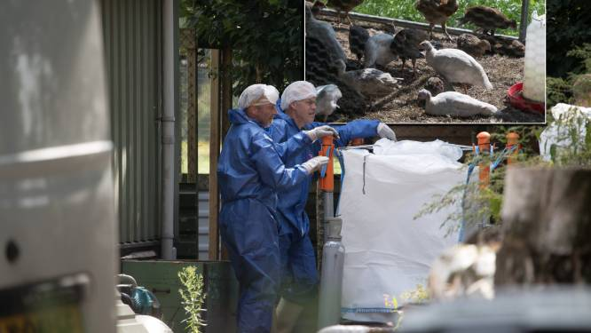 Geen nieuwe besmettingen vogelgriep rondom Heeten, pluimveehouders verontwaardigd: '1.400 dieren is geen hobby meer'