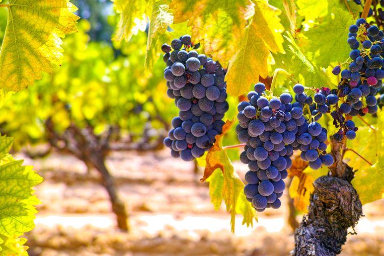 Smaakt biologische wijn zoveel beter dan gewone wijn? Beeld shutterstock