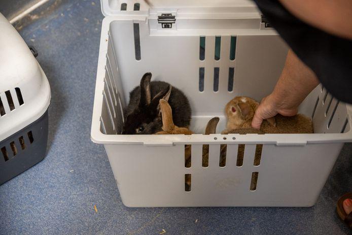 De jonge konijntjes die gevonden werden in Heule