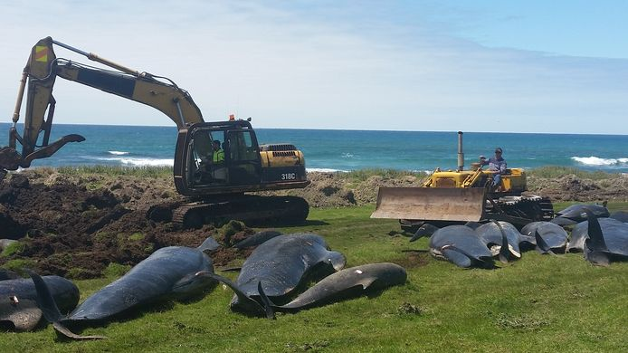 Graafwerken om de dode walvissen op Chatham Island te begraven. De dieren werden afgelopen vrijdag gevonden.