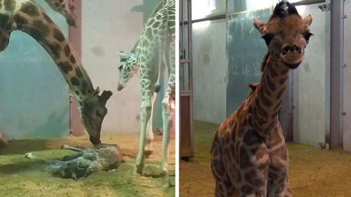 In januari werd nog een girafje geboren in het park.