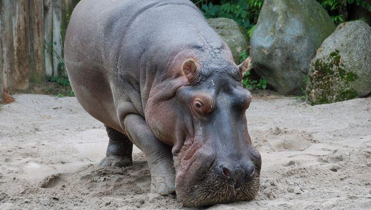 Hippo Maikel in de dierentuin van Frankfurt. Maikel is overleden na het inslikken van een tennisbal. Beeld epa