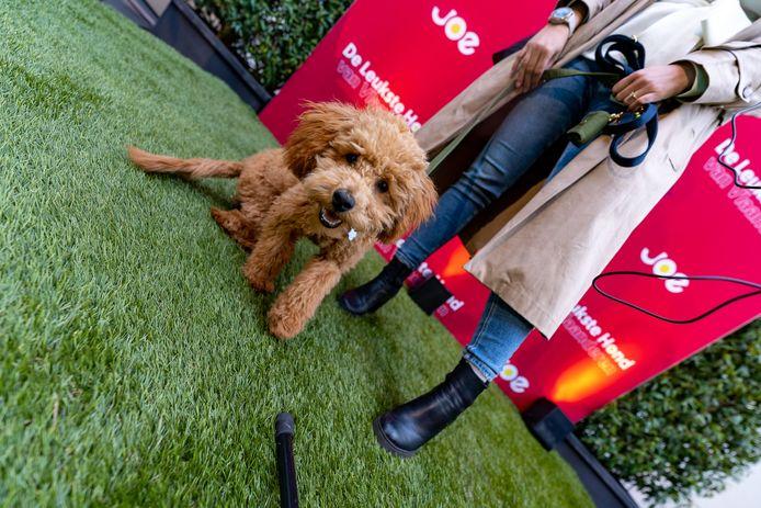 Marcel is de schattigste hond van Vlaanderen volgens de luisteraars en jury van Joe FM.