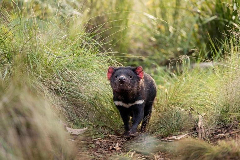 De Tasmaanse duivel (Sarcophilus harrisii) is een vreemde snuiter in het dierenrijk. Velen hebben er al eens van gehoord, maar haast niemand weet er het fijne van.  Beeld AFP