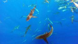 Inzittenden van rubberen bootje volgen dolfijn en plots worden ze omsingeld door haaien