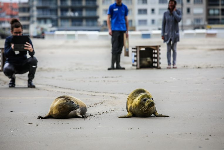 Blankenberge vrijlating zeehonden