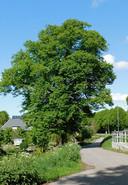 De lindeboom uit Mookhoek, volgens Arie Pieters  'een van de mooiste, grootste en oudste lindebomen in de Hoeksche Waard'.