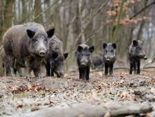 Dierenorganisaties dagen provincie Utrecht voor de rechter om afschieten wilde zwijnen