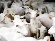 Gelderland dreigt geitenhouder met dwangsom om aantal geiten in Hurwenen terug te dringen
