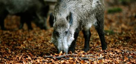 Jagers moeten recordaantal wilde zwijnen afschieten op Veluwe: 'Er is veel wild, nou en?'