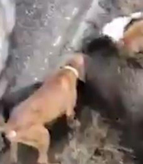 """Un sanglier terrorisé traqué et """"massacré"""" par dix chiens de chasse sur la chaussée"""