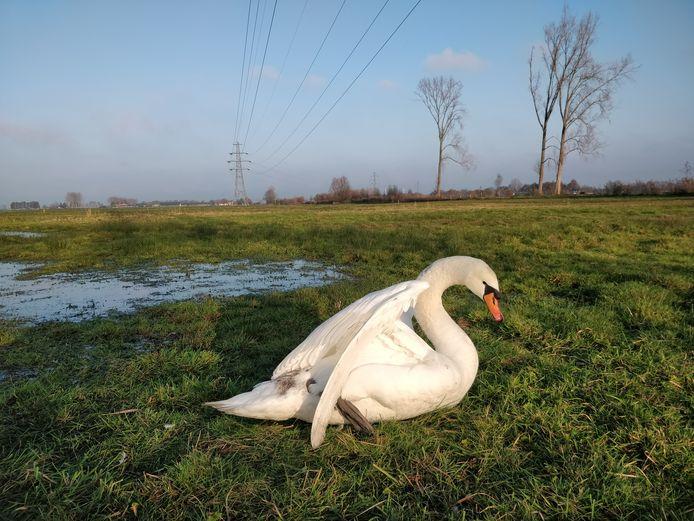 Een gewonde knobbelzwaan. Het dier kwam afgelopen zondag tijdens zijn vlucht in aanraking met de hoogspanningskabels boven het Binnenveld.