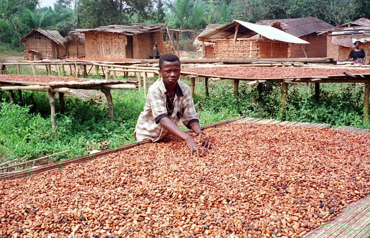 Cacaobonen worden gedroogd in het dorp Mankranso in Ghana. Beeld AFP