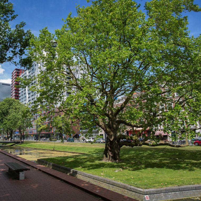 Nederland, Rotterdam, 12 juni 2017. Breytenbachboom. Foto: Werry Crone Beeld Werry Crone