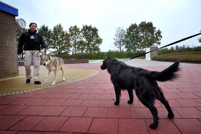 Al bij de eerste blik wil de zonder twijfel zwakkere flatcoated retriever Sam (rechts) op de uit de kluiten gewassen Tsjechoslowaakse wolfhond Aram af. Dat verraden zijn houding, blik en stand van staart en oren.
