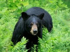 Amerikaanse vrouw doodgebeten door zwarte beer, politie maakt dier en twee jongen af