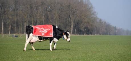 Wifi-koeien in weilanden rondom De Lutte en NK tegelwippen in Oldenzaal, het is weer 1 april
