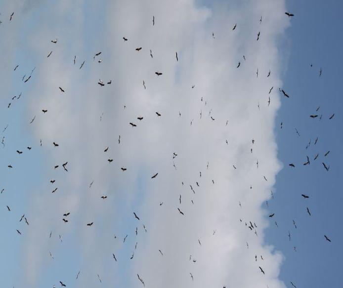Honderden ooievaars boven Baak en Toldijk