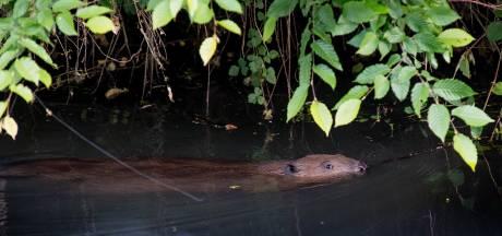 Bevers duiken op in achtertuin Chantal: 'Als er baby's komen, blijf ik buitenzitten'