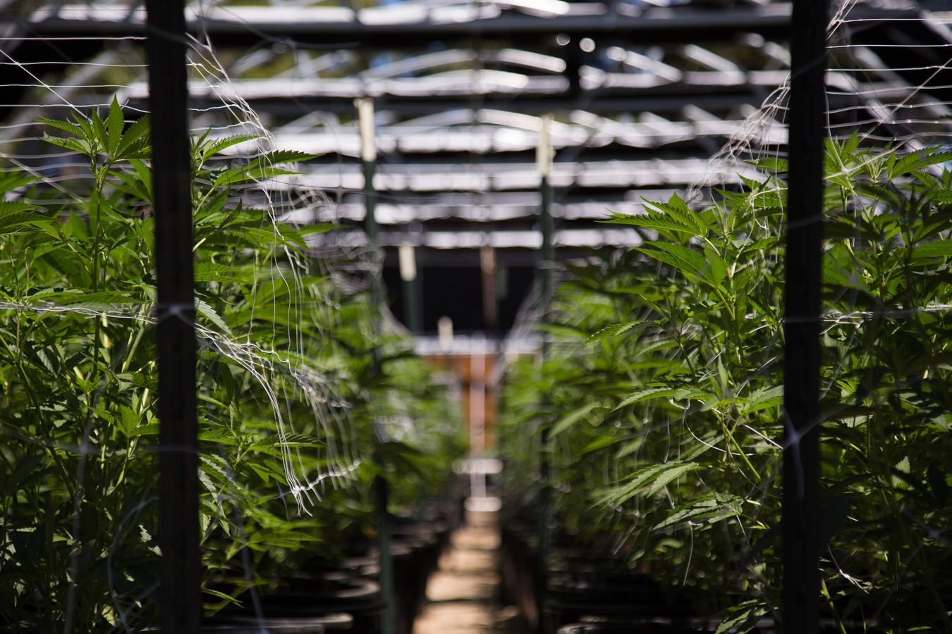 De Nederlanders waren gespecialiseerd in het opzetten van cannanisplantages. (illustratiebeeld)