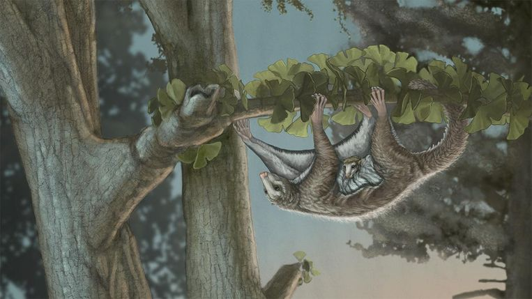Impressie van het zwevende zoogdier Maiopatagium furculiferu. Beeld April I. Neander, Universiteit van Chicago