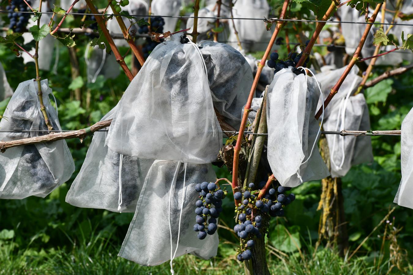 Er wordt steeds meer wijn geproduceerd in Rivierenland, zoals hier in Erichem bij Betuws Wijndomein.