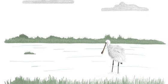 Voor veel vogels is het water van polder IJdoorn een crèche