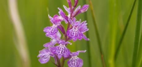 Een orchidee als kroon op natuurherstel