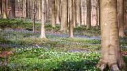 HYACINTENFESTIVAL: Bloeiende boshyacinten toveren Hallerbos stilaan om tot sprookjesbos (FOTO'S)