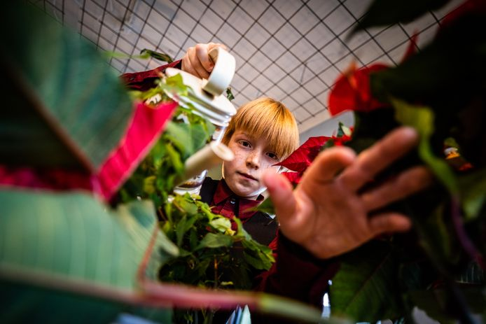 Jesse verzorgt een kerstster in het plantenasiel in Arnhem.
