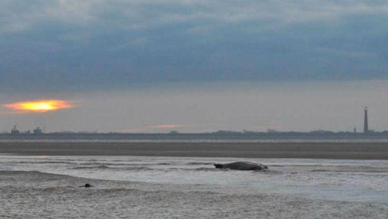 De bultrug op de zandplaat bij Texel. Vandaag wordt het inmiddels dode dier vervoerd naar het strand van Texel, waar een 'snijteam' van Naturalis klaarstaat. Beeld Novum